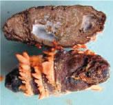 無菌飼育法でカイコを飼育